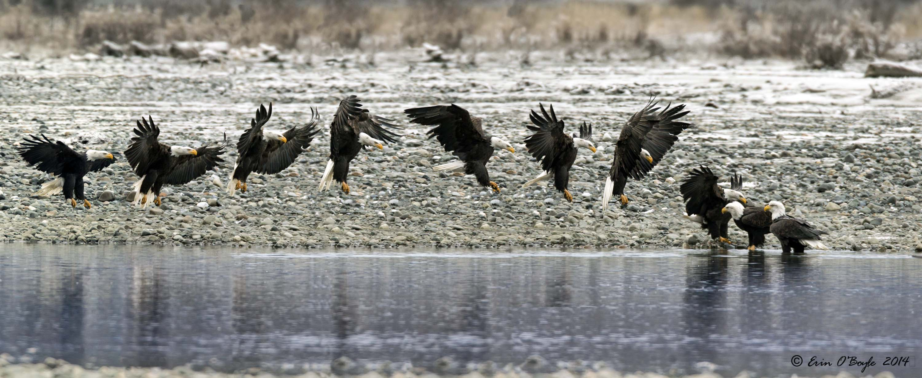 A kettle of Bald Eagles