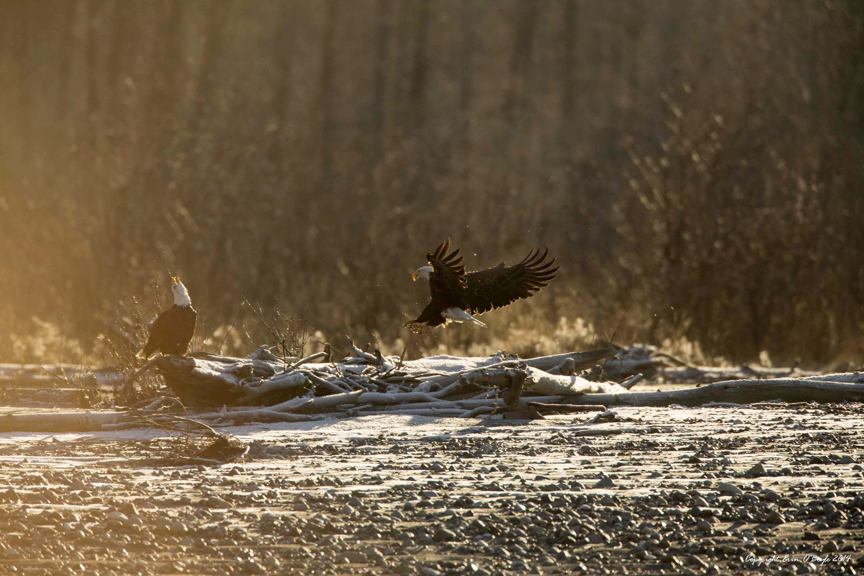 Bald Eagle holding ground