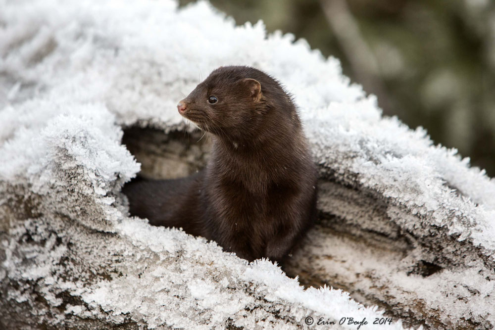 Mink on the Lookout