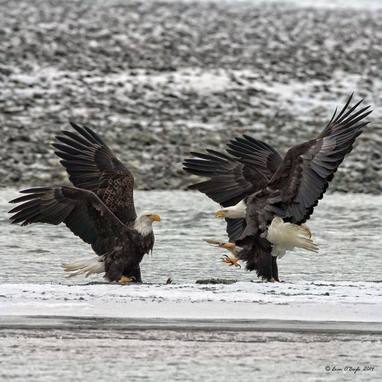Bald Eagle Dust Up