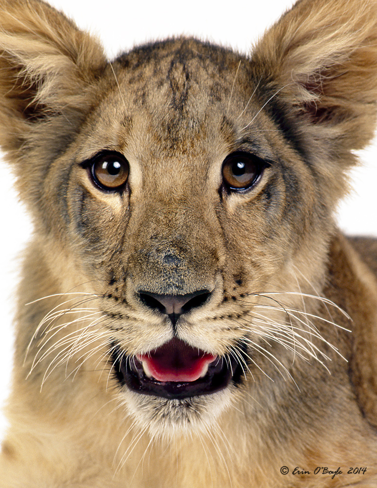 Lion Cub Portraite