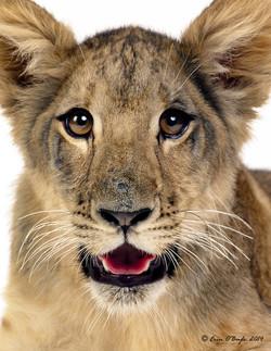 Lion Cub Portraite