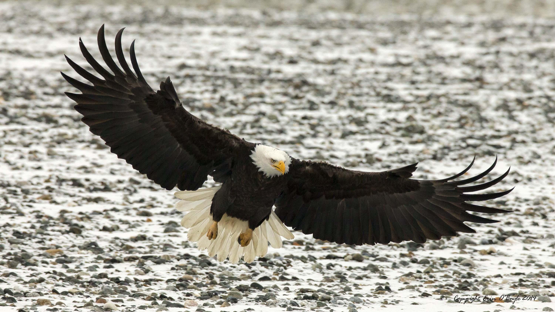 Alaskan Bald Eagle Landing