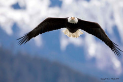 Alaskan Bald Eagle Soaring