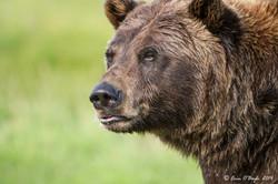 Grizzly Portraite