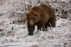 Grizzly on Ice