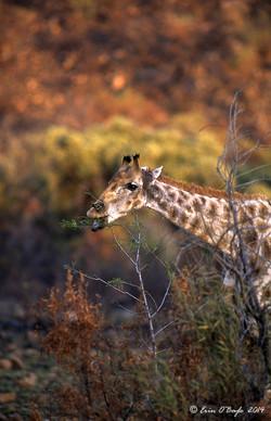 Feeding Giraffe,Africa