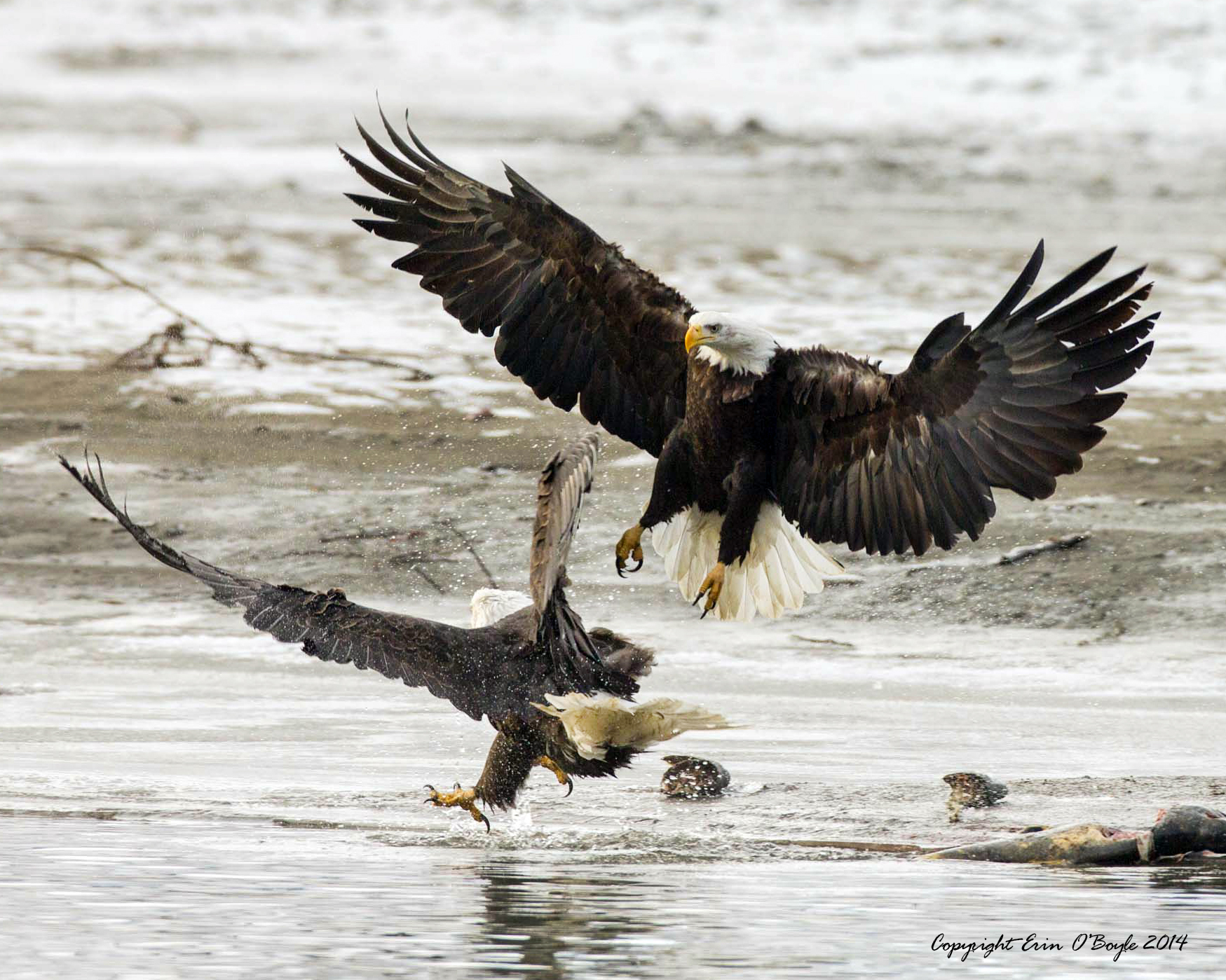 Alaskan Bald Eagles