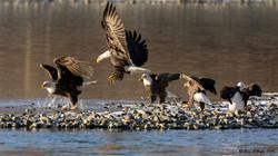 Bald Eagle kettle-gang
