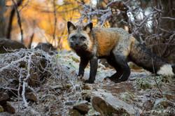 Alaskan Red Fox