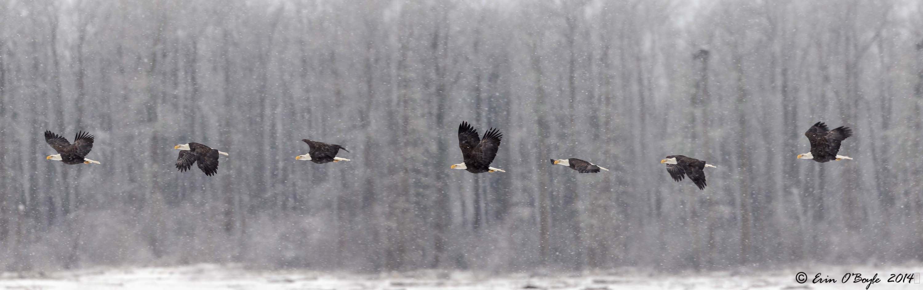 Bald Eagle Flight Study