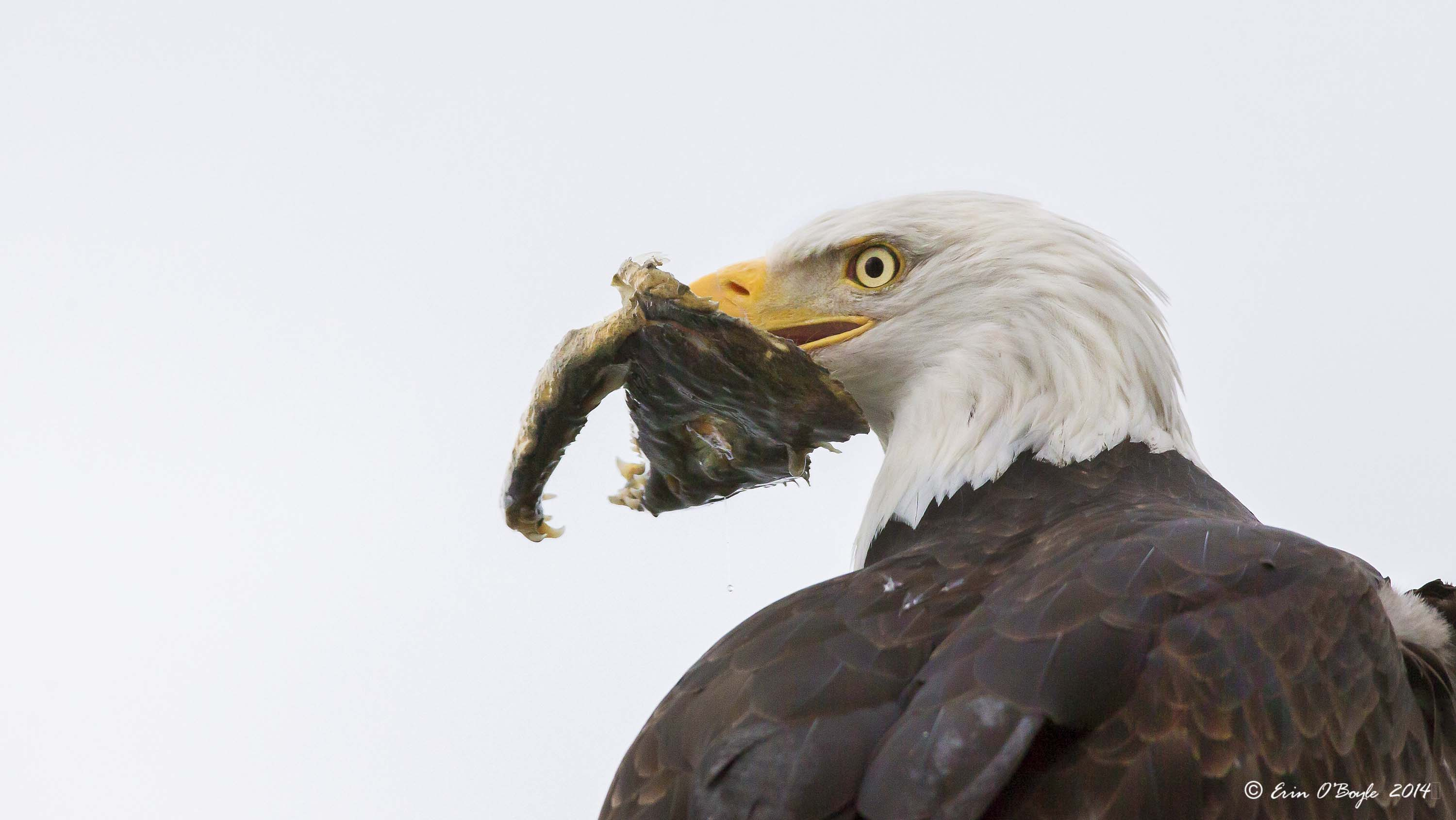 Bald Eagle with fish head