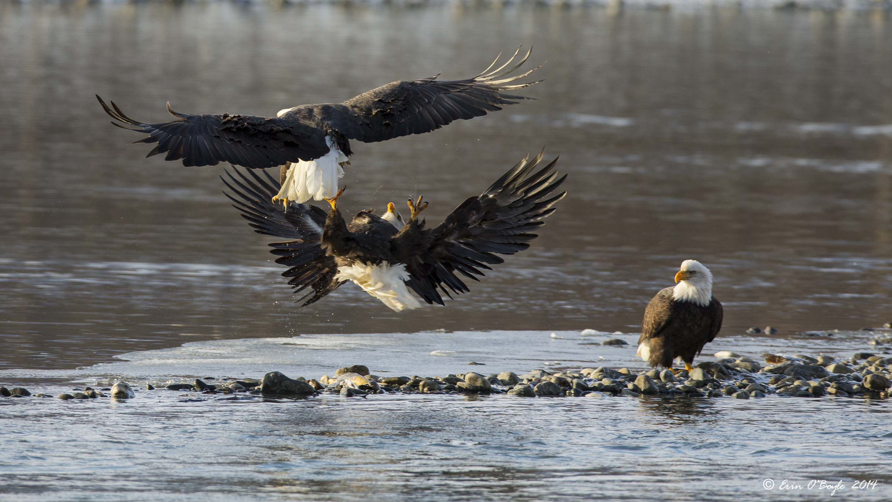 Bald Eagle Fight