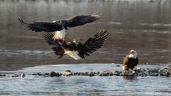 Bald Eagle Fight