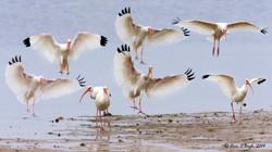Inbound Ibis
