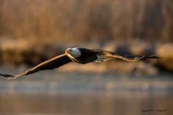Crusing Bald Eagle