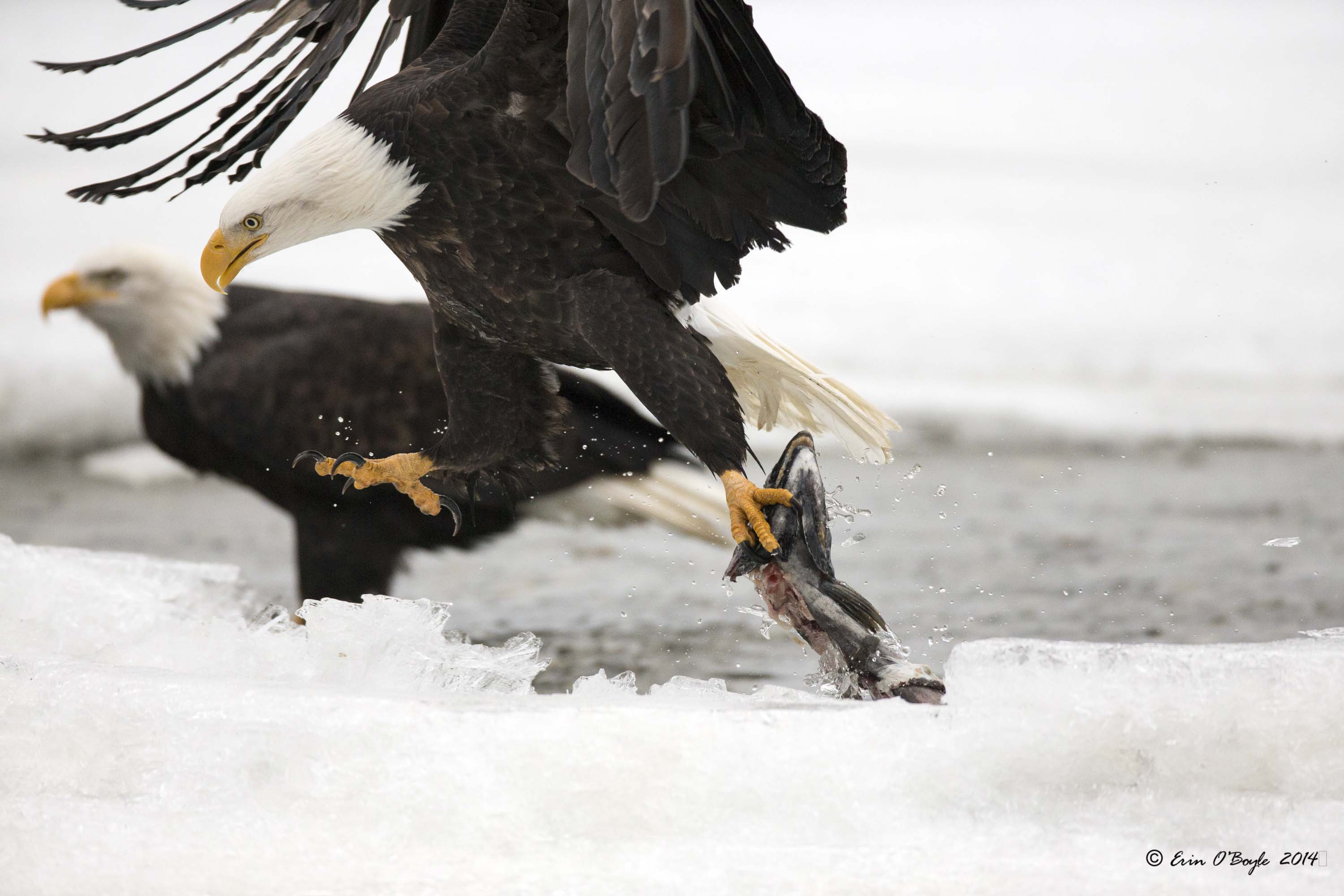 Bald Eagle lifting Salmon