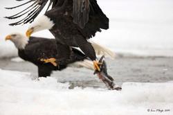 Bald Eagle lifting Salmon