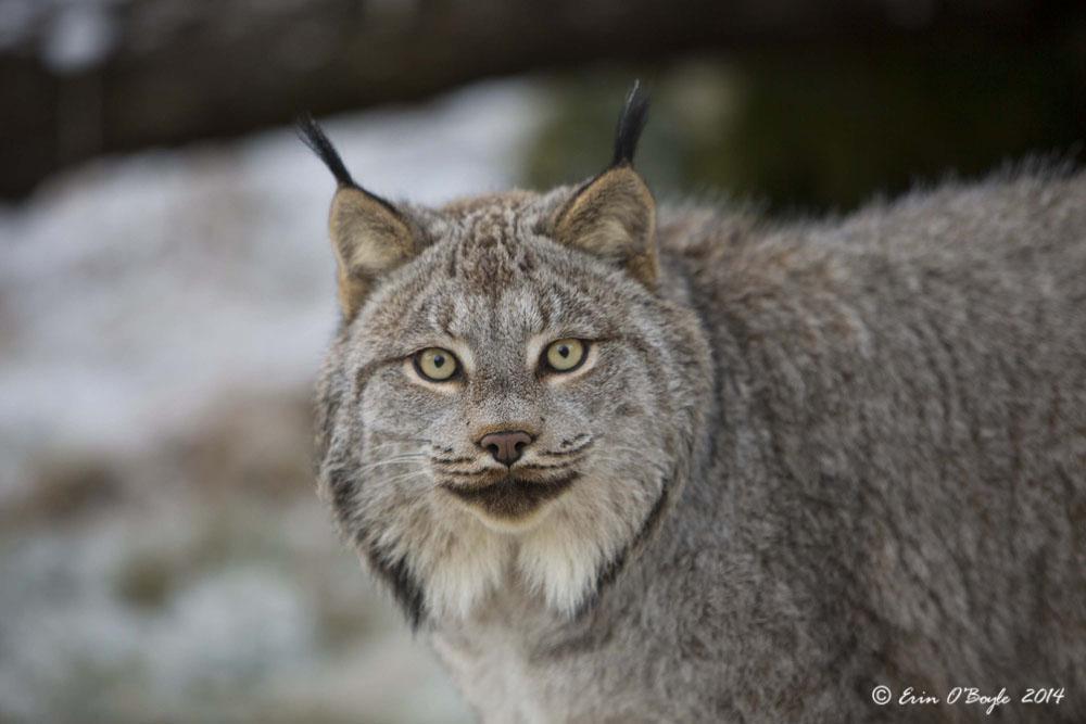 Arctic Lynx