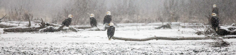 Alaskan Bald Eagles