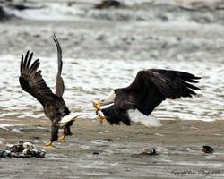 Bald Eagle Strike