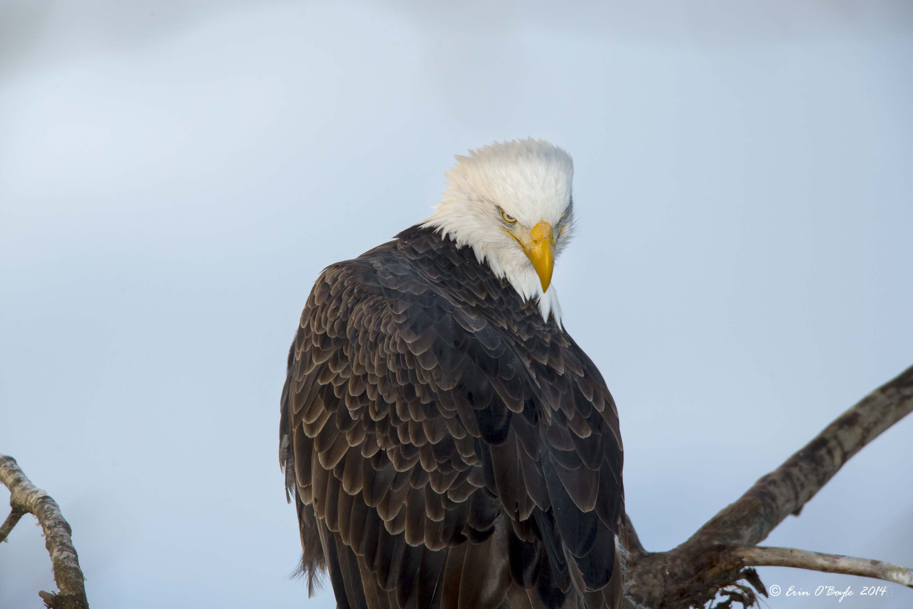 Bald Eagle with Attitude