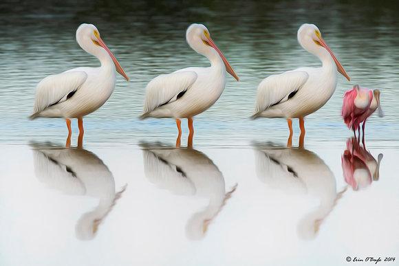 Triple Pelicans