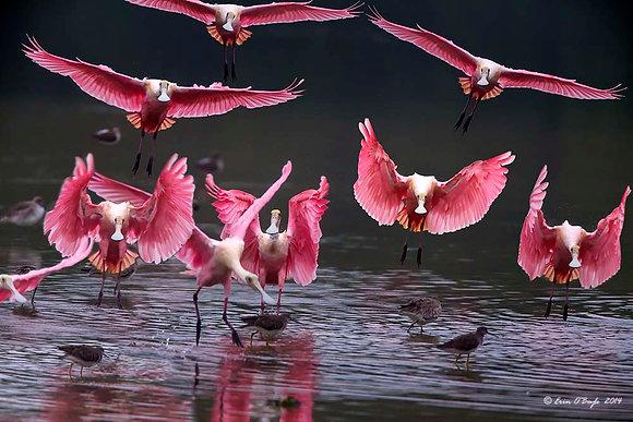 Roseate Flock