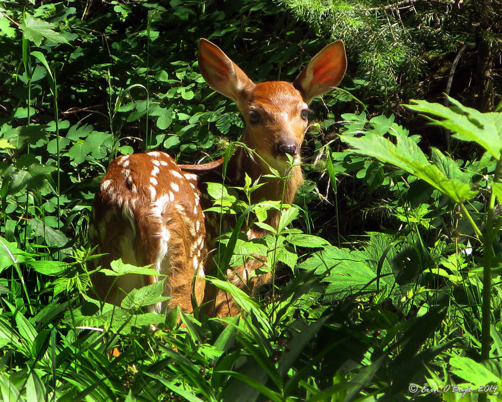 Fawn in Woods, Glacier NP