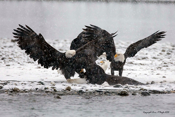Eagle Dust-up