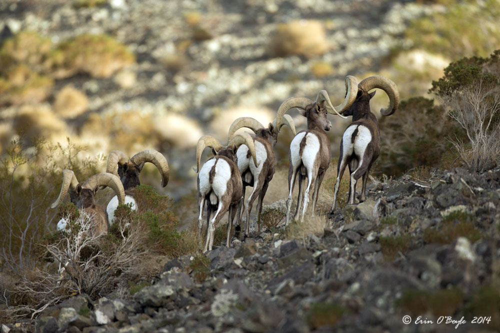 Big Horn Sheep in Nevada