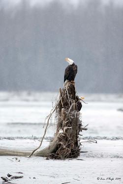 Bald Eagle Screeching