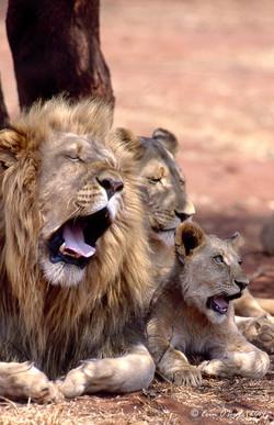 Yawning Pride, Africa
