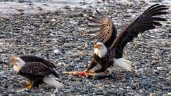 Bald Eagles in Defence