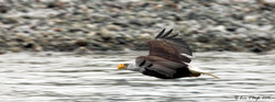 Bald Eagle at high speed