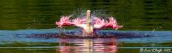 Roseate Sponbill Ibis
