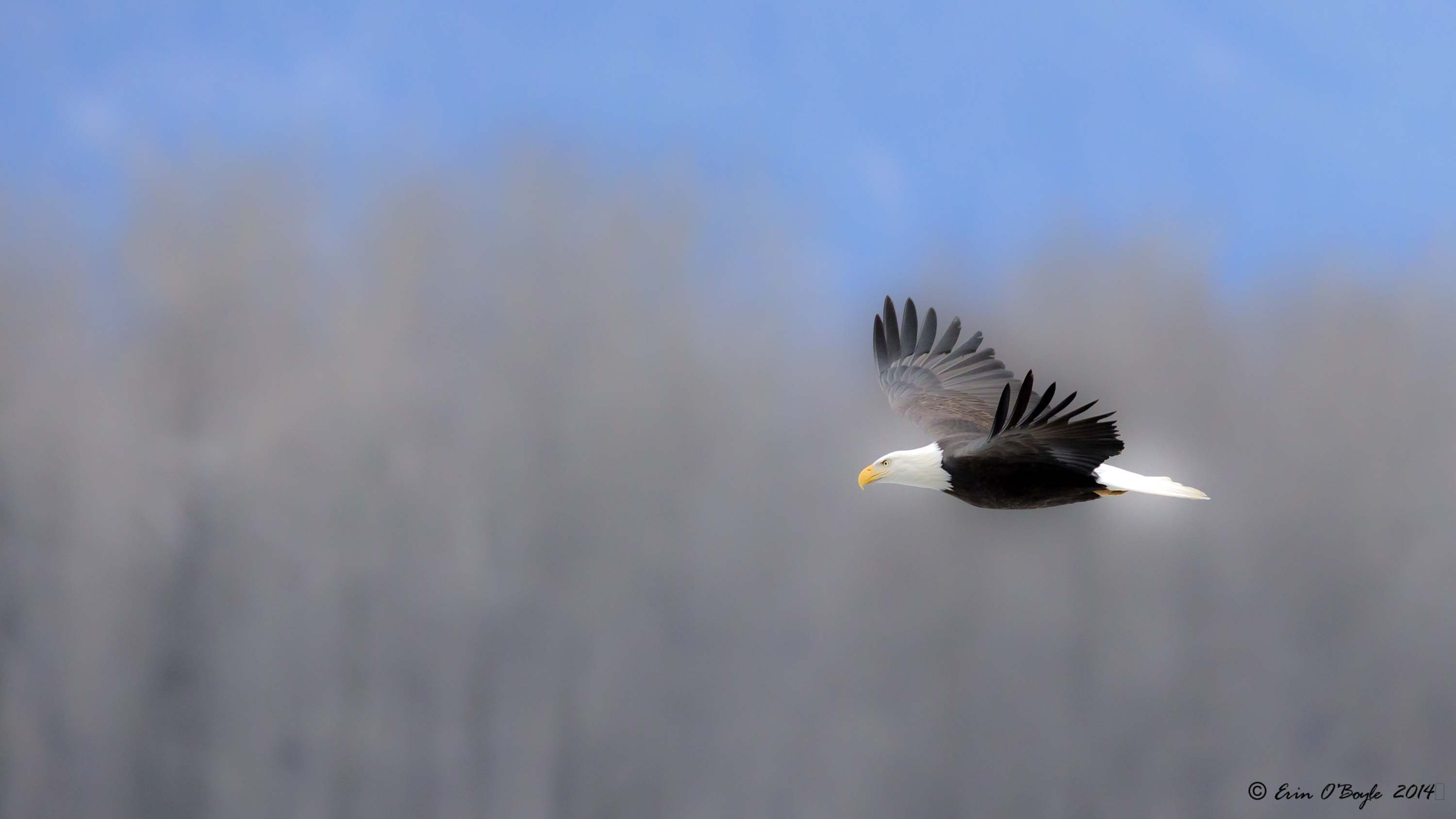 Mistical Bald Eagle