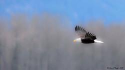 Mistical Bald Eagle