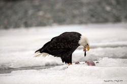 Alaskan Bald Eagle Feast