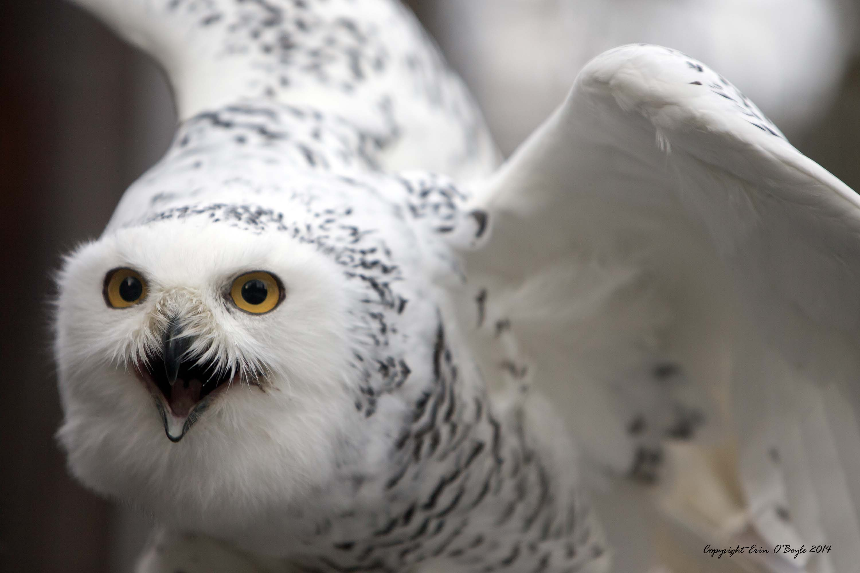Arctic Snow Owl
