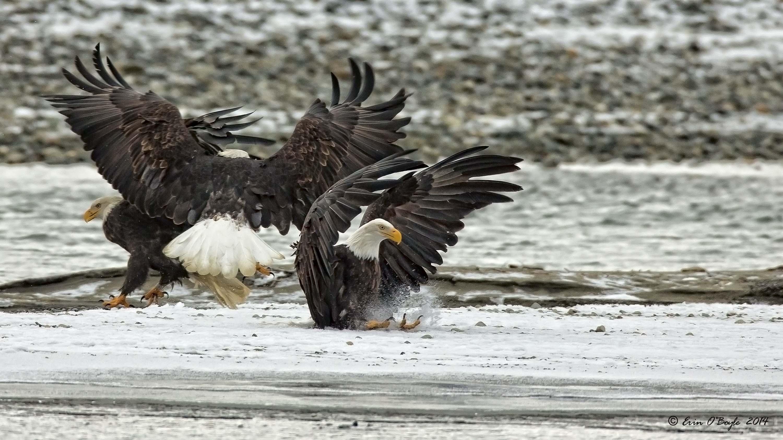 Bald Eagle Fast Landing