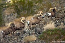 Big Horn Sheep in Nevada