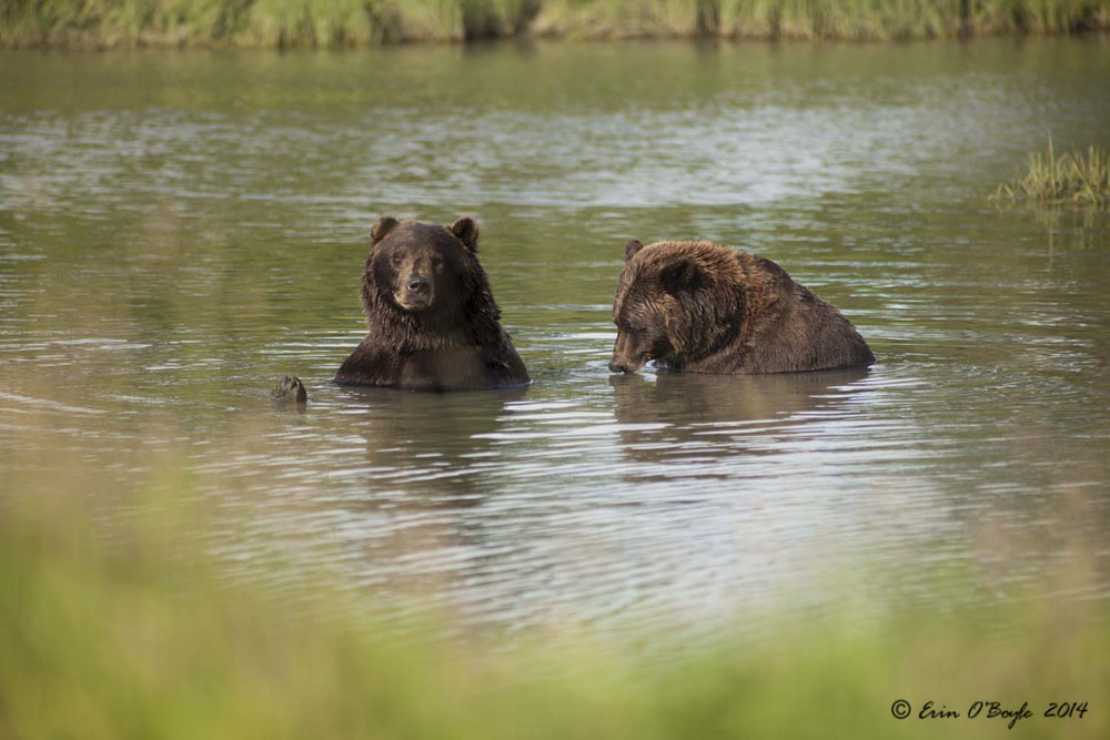 Bears in Lake 2
