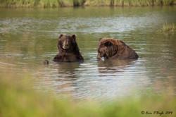 Bears in Lake 2
