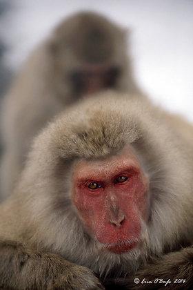 Snow Monkey III