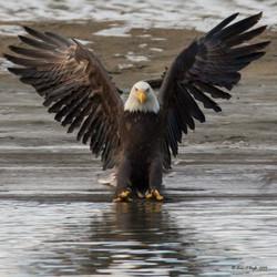 Bald Eagle as Art