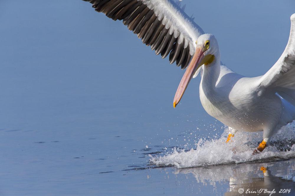 White Pelican Inbound