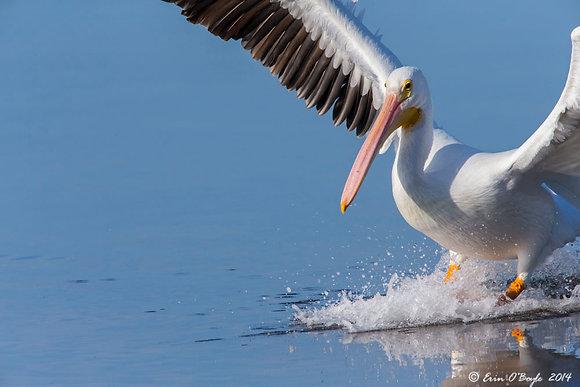Gliding White