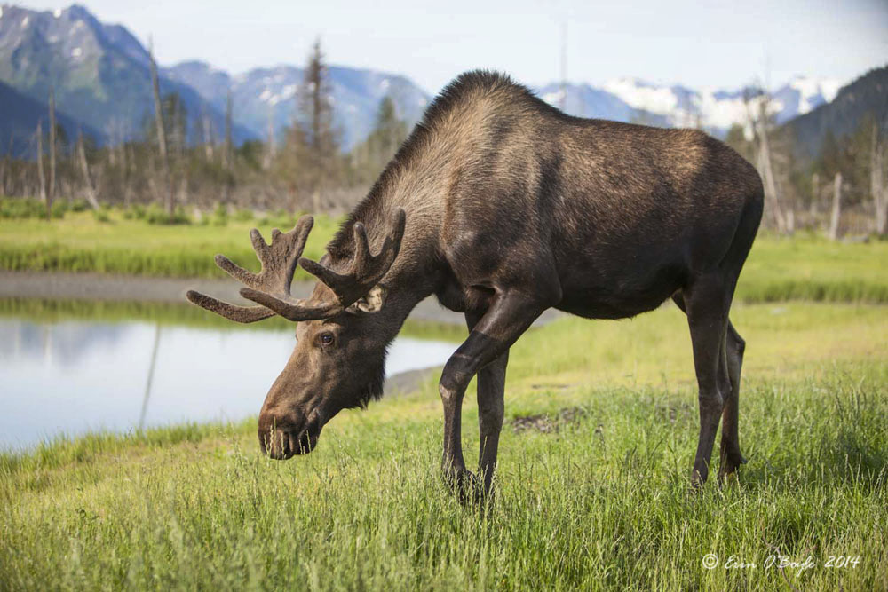 Male Moose in Alaska