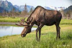 Male Moose in Alaska
